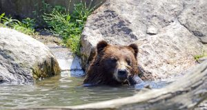 A grizzly bear in Yellowstone National Park. File photo.